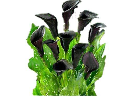 KINGDUO 50 Pcs Calla Lily Seeds Tropic Verschönern Pflanzen Garten Topfblumen Mehrjährige Lilie Samen-Schwarz -