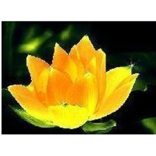 Hemore Goldene Schüssel Lotus Samen 10 Stück