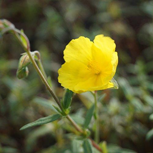 Blumixx Stauden Helianthemum Hybride 'Golden Queen' - Garten-Sonnenröschen im 0,5 Liter Topf leuchtend gelb blühend