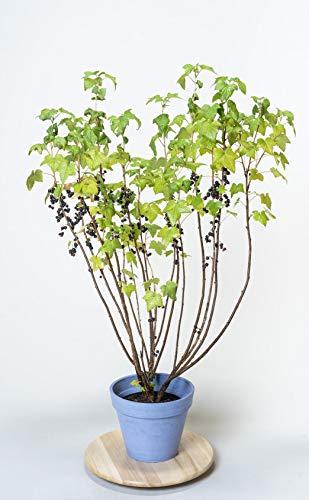 Pflanzmich Titania Schwarze Johannisbeere 40-60cm im 3 Liter Container, Laubfarbe: grün, Blütenfarbe: weiß gelblich