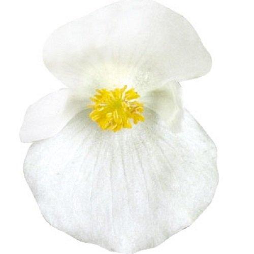 Begonie - Botschafter Weiß - 50 Pelletierte Samen