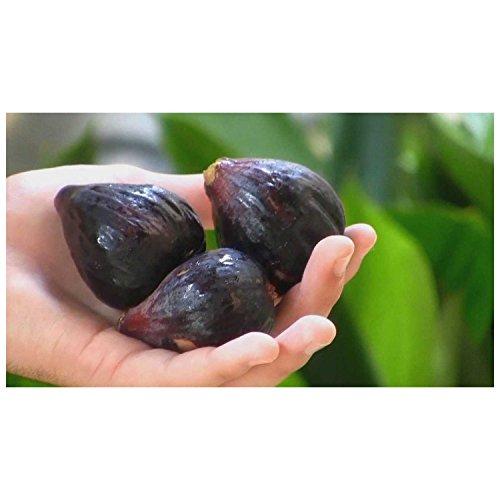 soniry semi pacchetto: hardy chicagoseed seed frutta 4 seed ficus facile da coltivare s essential