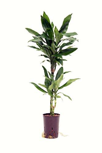 Drachenbaum, Dracaena fragrans Janet Lind, Zimmerpflanze in Hydrokultur, 15/19er Kulturtopf, 80 - 90 cm