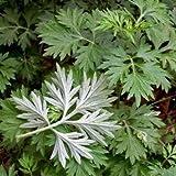 Chinesische Heilkraut Beifuß Samen, Familie Artemisia annua Samen 200pcs