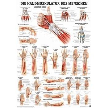 Anatomie Poster - Anatomie Poster - Handmuskulatur des Menschen ...