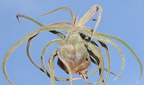 PLAT FIRM Semi di GERMINAZIONE: Mini Airplant streptophylla Tillandsia. Luftanlage Hawaii Oahu Bromelia