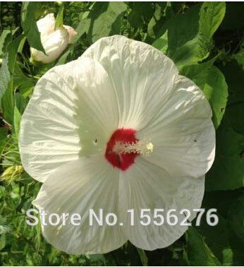 Pinkdose 50pcs Fresh Real GIANT Hibiscus-Blumensuppen * Teller * HARDY * Easy Grow Pflanzen sementes: Weiß - Hibiscus Teller Pflanzen