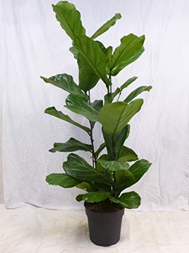 [Palmenlager] - Ficus lyrata 2er Tuff 160 cm - Geigenfeige mit großen Blättern // Zimmerpflanze