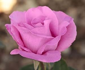 Rosier The Mc Cartney Rose ® Meizeli Avec Motte - Rose