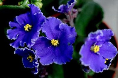 nueva-raras-50-pc-bolsa-chilena-bellflower-lapageria-rosea-semillas-arbol-de-hoja-perenne-dura-sombr
