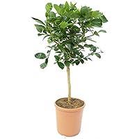 """Limette Limettenbaum""""Aurantifolia"""" Citrus Lime 70-90cm Zitruspflanze"""
