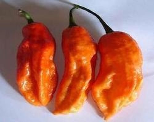 the record holder, RAJA MIRCH NAGA orange,100000 Scoville, non gmo, 10 graines