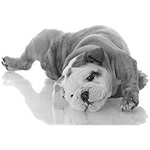 BullDog inglese (1)–Amazing Lovely–migliore qualità–Nuovo–Poster–Poster con cane cucciolo migliore immagine–Miglior prezzo–A3