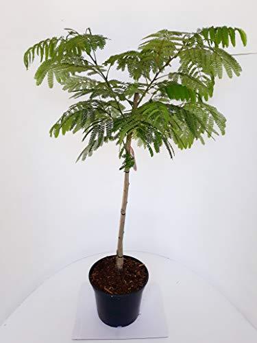 Albizia julibrissin Ombrella, Seidenbaum, Schlafbaum, Seidenakazie, Höhe: 120-130 cm + Dünger