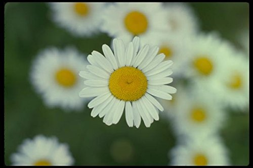 127045 Ox Eye Daisy (Leucanthemum Vulgare) A4 Photo Poster Print 10x8 (Eye Daisy Ox)