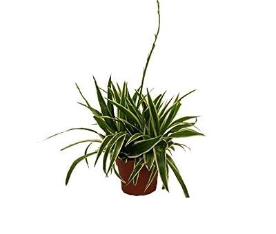 """Grünlilie """"Ocean"""", 2 Pflanzen von Dominik Gartenparadies bei Du und dein Garten"""