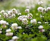 Bobby-Seeds Bodenkursamen Weißklee 1 Kg