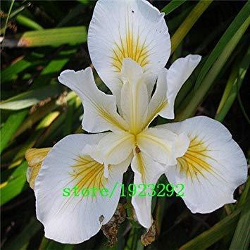 Livraison gratuite 100 violet Graines Iris, vivace fleur de jardin, plus facile fleur croissante de coupe, grande promotion,