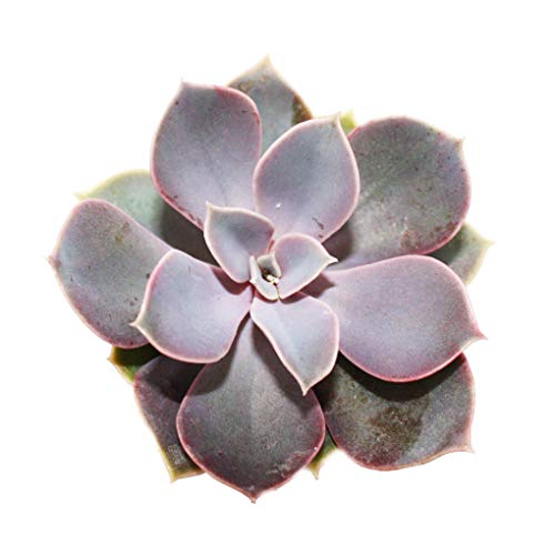 Echeveria - Perle de Nuremberg - petite plante en pot de 5,5cm