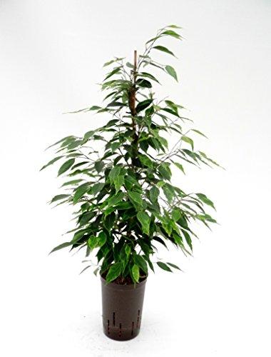 Birkenfeige, Ficus benjamini Anastasia, Zimmerpflanze in Hydrokultur, 15/19er Kulturtopf, 75 - 85 cm