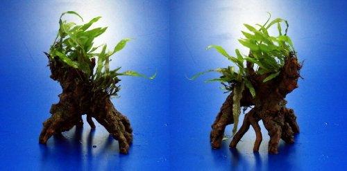 Nano Javafarn-Bäumchen mit Baumkrone / Urwaldbaum KLEIN mit Micr. Short Narrow Leaf