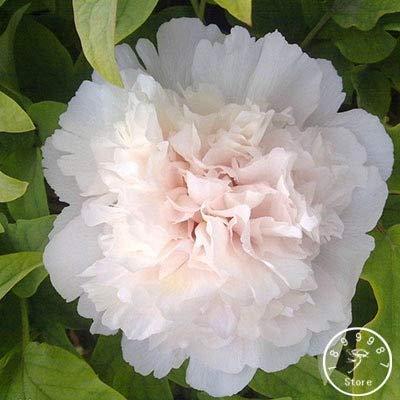 Shopmeeko Samen: Verlust Promotion 25 Farbe Wählbar authentische chinesische Pfingstrosen-Blumen-Pflanzen Topfblumen Bonsai Pflanze Peony Garden 10 Stk/Packung: 14