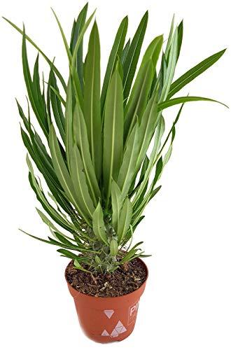 Pachypodium lamerei - die bekannte Madagaskarpalme - pflegeleichte Sukkulente/Zimmerpflanze -
