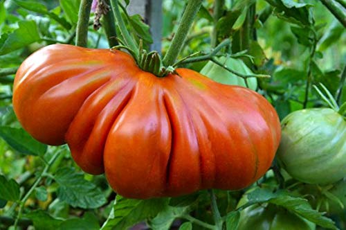 Ultrey Samenshop - Bio Riesen Ochsenherz-Tomaten Samen Fleischtomate Samen Gemüse Obst Samen ertragreich mehrjährig winterhart für Garten Balkon/Terrasse (100 Stück)