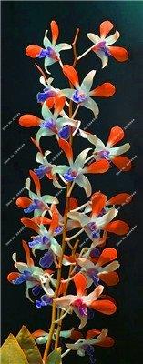 ! Nain Dendrobium Graines de fleurs d'orchidées rares plantes tropicales ornementales Arbre miniature croissance naturelle, 10 Pcs