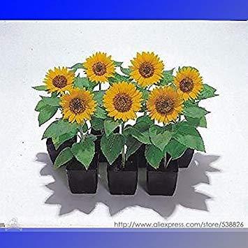 Pinkdose® 2018 heißer Verkauf Sunny Smile F1 Sonnenblumenkerne, Professional Pack, 15 Samen/Pack, schöne Miniatur Sonnenblume 6 Zoll groß # NF994