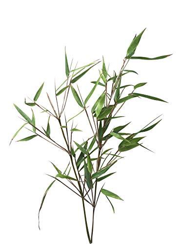 fargesia hecke Muriel-Hecken Bambus (Fargesia murielae) 15 Samen -Tolle Bambus Hecke-