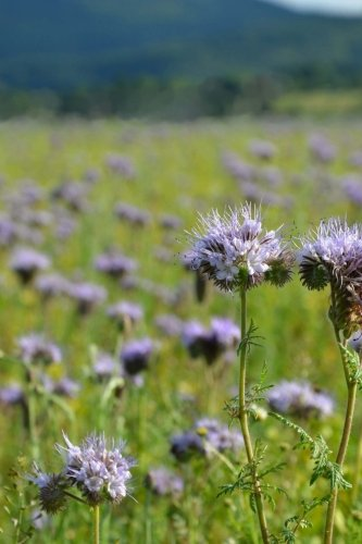Phacelia Scorpion Weed Flowers Journal: Take Notes, Write Down Memories in this 150 Page Lined Journal