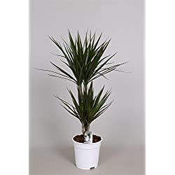 Drachenbaum (Dracaena marginata), Sorte: Marginata, im 17cm Topf, ca. 70cm hoch, (2 Stämme 10 und 30cm)