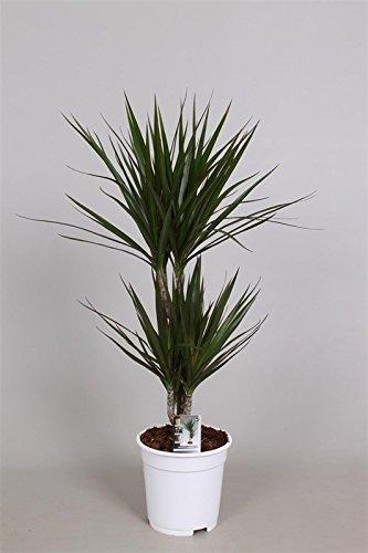 Drachenbaum (Dracaena), 2 Stämme im Topf, ca. 70cm hoch, pflegeleichte Zimmerpalme (Sorte: Marginata, dunkelgrünes Laub)