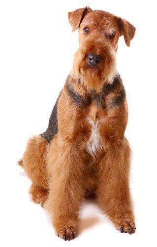 Airedale-Terrier ~ Hunderasse ~ Essbar Bild Kuchen, Topper DecoPac (Decopac-kuchen)