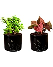 Rolling Nature Combo of Good Luck Live Jade and Pink Syngonium Plant in Black Barrel Aroez Ceramic Pot