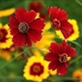 Für Samen - Coreopsis/Mädchenauge Färberkamille