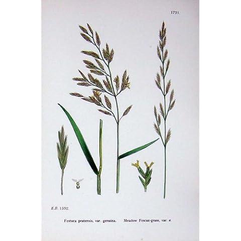 La Botanica Pianta il Colore del Festuca dell'Bacchetta-Erba del Prato C1902