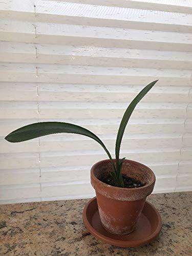 GEOPONICS Jatropha curcas 20 Samen, Seife, Purgiernuss, Purgiernuss, bados Mutter