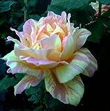 Französische Malerrose Rose de Cisterciens