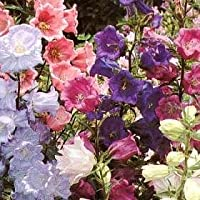 150 Mixed Colors CUP & SAUCER (Canterbury Bells) Campanula Medium Flower Seeds by Seedville