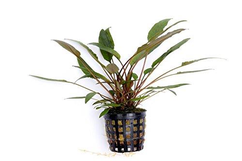 Dennerle Aquariumpflanze für ein biologisch stabiles Aquarium
