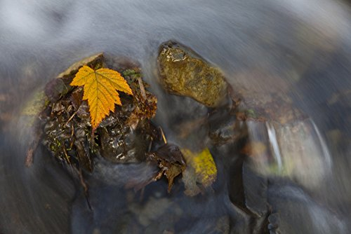 Price comparison product image Marion Owen / Design Pics – Yellow Salmonberry Leaf Clinging To Rocks In Small Stream With Water Cascading Down From Pillar Mountain Kodiak Island Southwest Alaska Autumn Photo Print (86.36 x 55.88 cm)