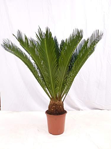 [Palmenlager] - Cycas revoluta 100 cm - Stamm 10/15 cm - Sagopalme - Palmfarn