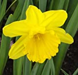 Narcissus - Narzisse/Osterglocke' DUTCH MASTER' (5)