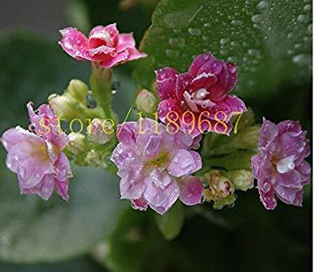 Graines 100pcs Bonsai Red Longevity Flower Plantes Kalanchoe nouveaux pour le bricolage jardin FACILE poussent sur un bureau pour le cadeau de femme