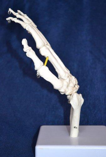 Zoom IMG-2 s24 3247 scheletro della mano