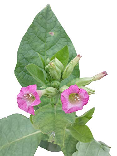 Tabak Samen - Echter Rauchtabak *Nicotiana tabacum* 100+ Samen
