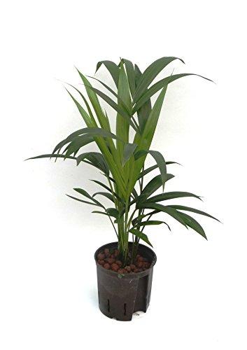 Kentiapalme, Howeia forsteriana, Zimmerpflanze in Hydrokultur, 13/12er Kulturtopf, 40 - 50 cm