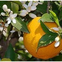 Lavita Orange, kaltgepreßt 100ml - 100% naturreines ätherisches Öl preisvergleich bei billige-tabletten.eu